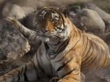 La-regina-della-giungla-del-Rajastan.jpg