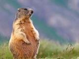 Marmotta-in-dolce-attesa.jpg