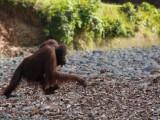 Un-timido-scimmione.jpg