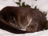 La-piccola-lontra-sonnecchia-nella-neve.jpg