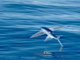 Il-pesce-volante.jpg