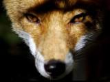 Foxy-lady.jpg