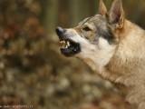 La-forza-del-lupo.jpg