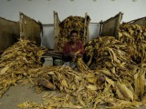Lavorare-il-tabacco.jpg