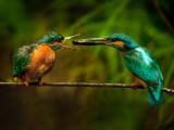 L'arte-del-corteggiamento-del-martin-pescatore.jpg