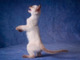 Il-fascino-dei-gatti-siamesi.jpg