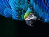 Il-pappagallo-blu.jpg